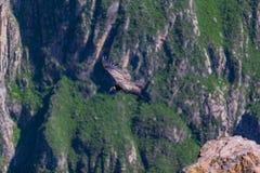 Condor die over colca vliegen conyon stock foto