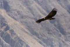 Condor die in Peru vliegen royalty-vrije stock foto