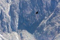 Condor die in Peru vliegen stock afbeelding