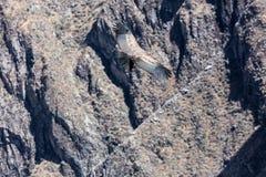 Condor die in Peru vliegen stock foto's