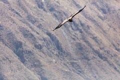 Condor die in Peru vliegen royalty-vrije stock foto's