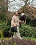 Condor, een kale Amerikaanse adelaar, die op de hand van een vogel de zitten toont arbeider, tijdens prestaties royalty-vrije stock afbeeldingen