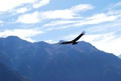 Condor Stock Photo