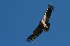 Condor flying. Flying Condor in the Colca canyon. Peru Stock Images
