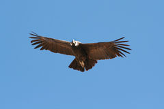 Condor flying 3. Flying Condor in the Colca canyon. Peru Stock Images
