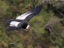 Condor Flying. In the highlands of Bolivia Royalty Free Stock Image