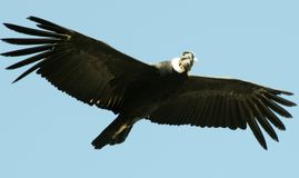 Condor flying in the blue sky royalty free stock image