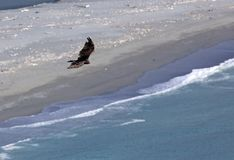 Condor flying in California stock photography
