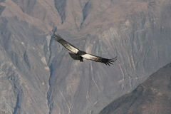 Condor flying through canyon Stock Image