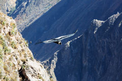 Condor Stock Photos