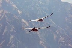 Condor. Flying condor in the Colca canyon,Peru stock photography