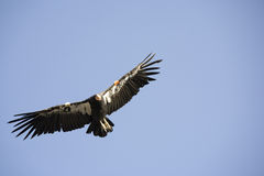 Condor at grand canyon Royalty Free Stock Image