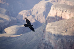 Condor at grand canyon Royalty Free Stock Photography