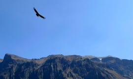 Condor na garganta de Colca, Peru imagem de stock