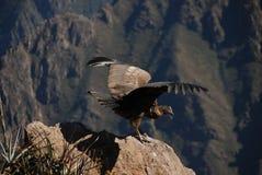 Condor nel Perù fotografie stock libere da diritti