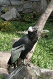 Condor op de steen. stock fotografie