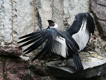 Condor op de steen. stock afbeelding