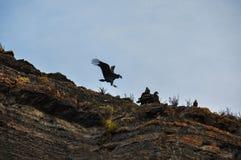 Condor in Parque Nacional Torres del Paine, Cile Fotografia Stock