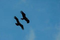 Condor in Parque Nacional Torres del Paine, Cile Fotografia Stock Libera da Diritti