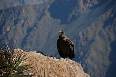 Condor in Peru. A Condor in the Colca Canyon of Peru royalty free stock photo