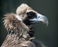 Condor Portrait Stock Photos