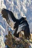 Condor a seduta del canyon di Colca, Perù, Sudamerica. Ciò è un condor il più grande uccello di volo Fotografie Stock Libere da Diritti