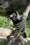 Condor sur la pierre. image libre de droits