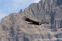 Condor tijdens de vlucht royalty-vrije stock afbeeldingen
