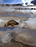 Condor in the Valley of Geysers, Atacama Desert, Chile Stock Images