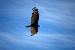 CONDOR1.JPG royalty free stock photo