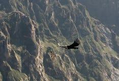 Condors above the Colca canyon at Condor Cross or Cruz Del Condor viewpoint, Chivay, Peru royalty free stock images