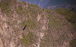 Condors boven de Colca-canion bij Condorkruis of Cruz Del Condor-gezichtspunt, Chivay, Peru stock fotografie