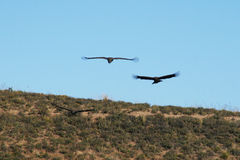The condors flight Stock Image