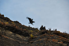 Condors in Parque Nacional Torres del Paine, Chile Stock Photography