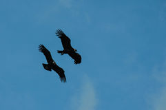Condors in Parque Nacional Torres del Paine, Chile Royalty Free Stock Photography