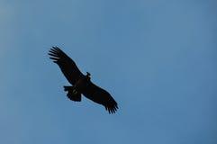 Condors in Parque Nacional Torres del Paine, Chile Stock Photo
