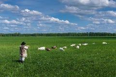 Conduca e gregge delle capre su un pascolo Fotografie Stock