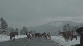 Conducción del coche en paisaje de la montaña del invierno Manada de la cámara lenta del camino cruzado de los caballos almacen de metraje de vídeo