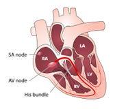 Conducción eléctrica del corazón Fotos de archivo libres de regalías