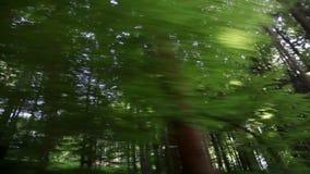 Conducción a través de bosque con los árboles altos