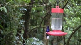 Conducteur d'oiseau de Colibri banque de vidéos