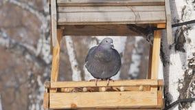 Conducteur pour des oiseaux en parc pendant l'hiver banque de vidéos
