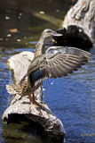 Conducting. An Hybrid Hawaiian/Mallard duck appearing to conduct a fishy orchestra from a log in a pond Stock Image