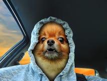 Conductor de coche de la sudadera con capucha de la cara del perro que descubre los dientes fotografía de archivo libre de regalías