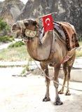 Conduites de chameau à l'endroit de touristes images stock