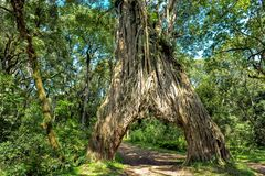 Conduza através da árvore de figo, árvore do ficus com furo para o carro imagem de stock royalty free