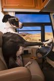 Conduzindo o cão do grande dinamarquês fotos de stock