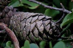 Cone bonito do pinho nas folhas verdes perto acima fotos de stock