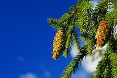 Cone on branch. Pine cone on branch against blue sky Royalty Free Stock Photography