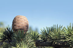 Cone and branch of the cedar against the blue sky Stock Photography